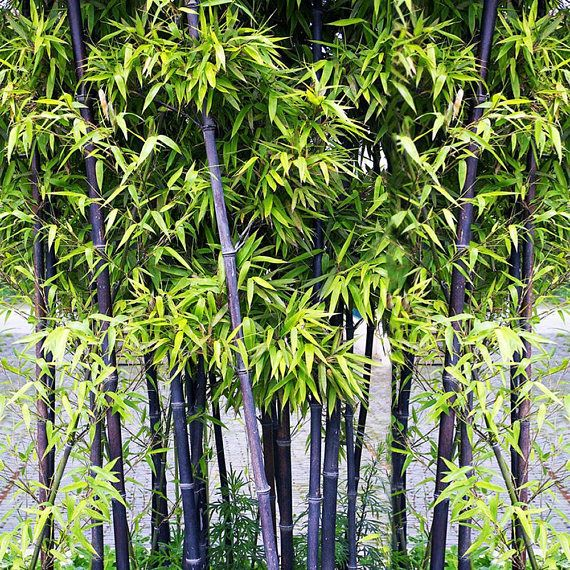 180 seeds Fresh Black Bamboo Seeds - Phyllostachys Nigra (Hardy) Listed for charity