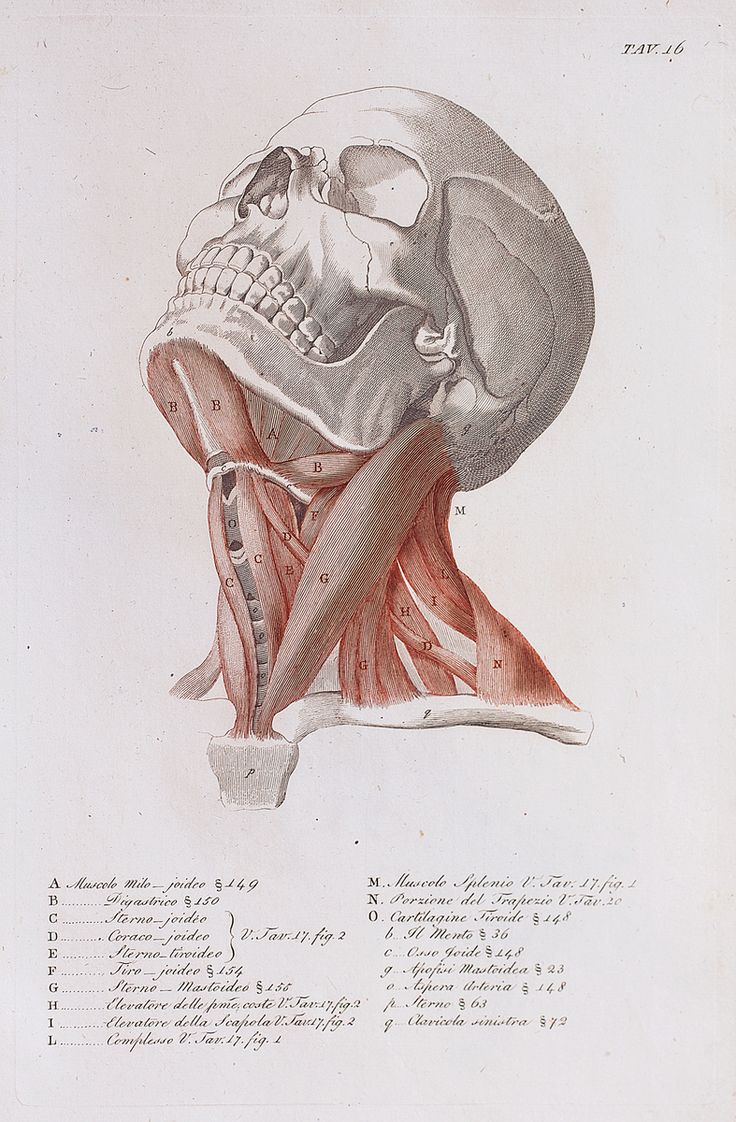 Anatomical diagram of the muscles of the neck