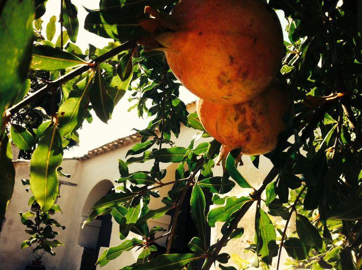 L'albero del melograno, tipica pianta domestica della Marmilla, e i suoi frutti