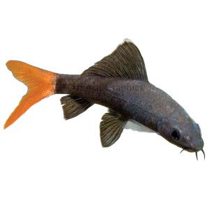 The red tailed shark can be purchased very cheaply 6 at for Easy pet fish