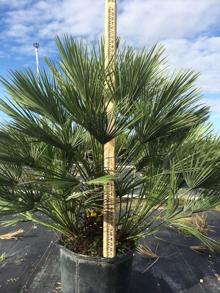 91 Best Buy Cold Hardy Palm Trees Images On Pinterest