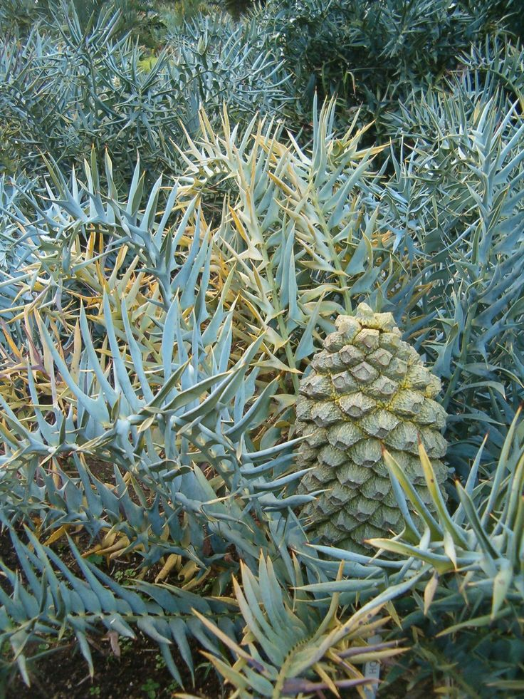 A South African species, Encephalartos horridus makes lots of pups and the leaves recurve strongly at the tips.