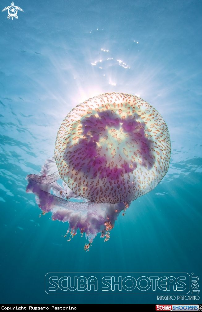 Jellifish  in Capo Noli - Italy