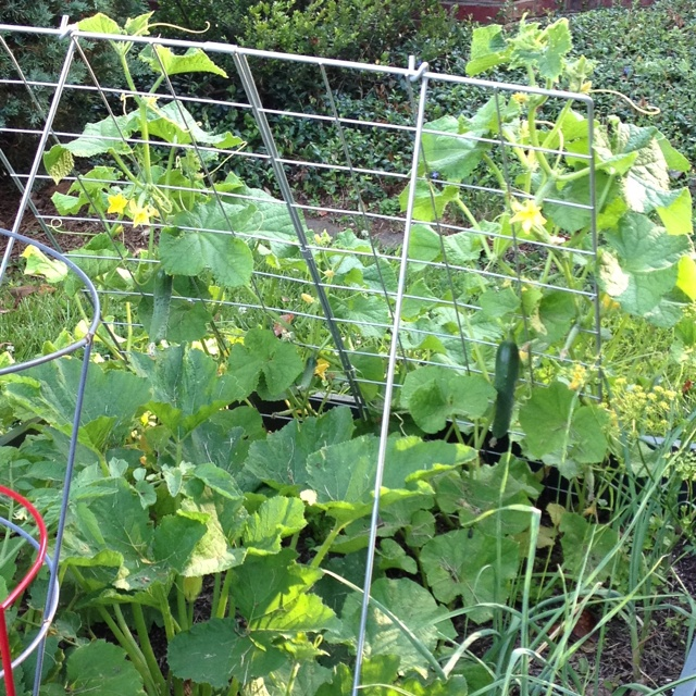Growing Zucchini On A Trellis: The Zucchini And My Cucumber Trellis!