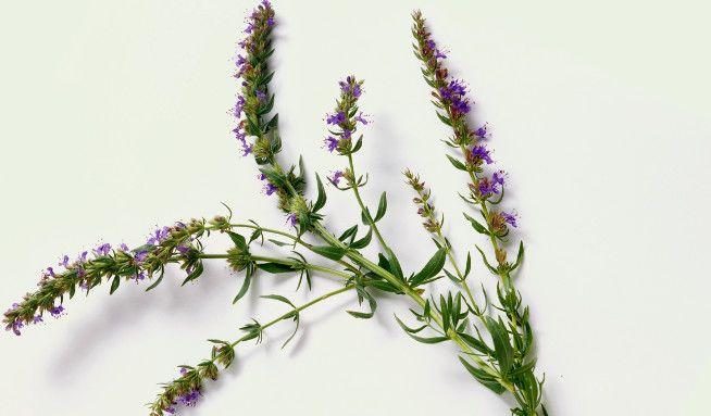 Yzop: Zapomenutá bylina zkřížovek -......... http://www.vitalia.cz/clanky/bylinkovy-special-yzop/