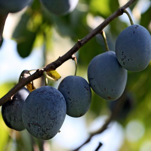 How To Prune An Italian Purple Plum Tree Garden Guides