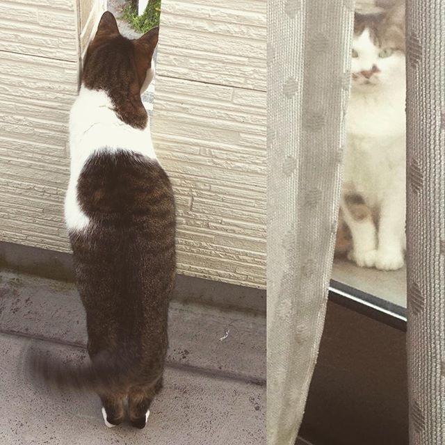 #ベランダ で外を眺める#愛猫 #ふぁーちゃん 🐱 何か面白いもの見えるの?❤︎ #ママ は洗濯物取り込んで畳んでたら、視線を感じるΣ( ̄。 ̄ノ)ノ 窓越しにカーテンの隙間から こちらを見つめる ふぁーちゃん😺 そんなに見つめないでー😹 #あー可愛い ❤️ #ニャンスタグラム#ネコスタグラム#にゃんすたぐらむ #ねこすたぐらむ #猫のいる暮らし#猫好き#猫バカ#覗き見#みんねこ #にゃんだふるらいふ #猫#ねこ #cat #ペット #動物