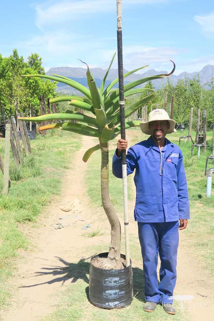 40L Tree Aloe, a striking and sculptural tree that creates an effective focal point in any landscape. It grows well on slopes, for drainage is key and thrives well under cultivation.