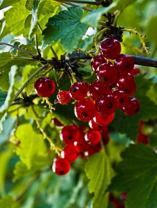 Röd vinbärsbuske