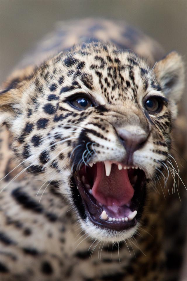 Arquivo - Filhotes de onça pintada já podem receber visita no Zoológico - Álbum - Prefeitura de Curitiba
