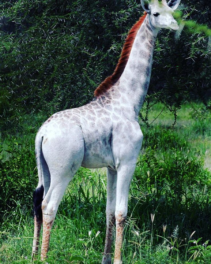 Meet Omo a one-of-a-kind giraffe who lives at the Tarangire National Park in Tanzania. You might think that shes albino but shes actually leucistic meaning that her body has reduced amounts of many types of pigment (not just melanin) which simply makes her paler than other giraffes. Wild Nature Institute founder Derek Lee says that Omo is the only pale giraffe we are currently aware of and that her unique coloring might make her an easy target for poachers. We here at @science hope that…