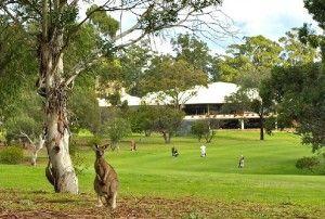 Pambula Merimbula Golf Club on the South Coast of NSW. Kangaroos abound!