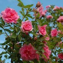 ROSA 'ILO' IV, hevoslaakso ja eteläikkunan alla. Näyttävä ja talvenkestävä pensasruusu. 'Ilo' kasvaa varsin nopeasti kaksimetriseksi, siistinmuotoiseksi pensaaksi. Pensas on tiheä ja pysyy hyvin pystyssä. Kukat ovat kerrannaiset, heleän vaaleanpunaiset, hieman lohenpunasävyiset. Runsas kukinta alkaa Etelä-Suomessa juhannuksen jälkeen ja jatkuu heinäkuu lopulle saakka. Pieniä punaisia kiulukoita muodostuu niukasti. Tuoksussa häivhdys salaattia.
