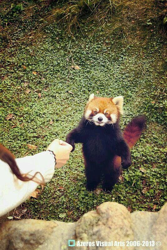 #red panda