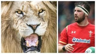 Welcome To Newssquare1: Lion bites Wals and Ospreys rugby player