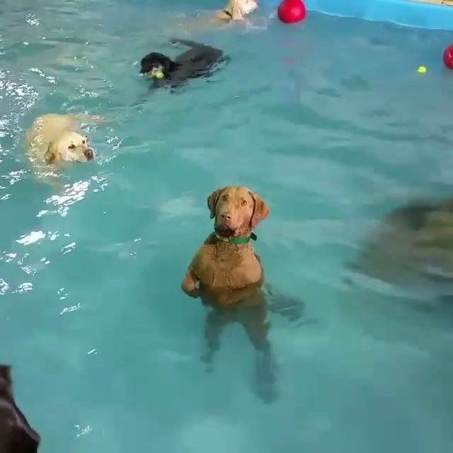 This Chesapeake Bay Retriever named Beya has risen to internet stardom with her decision not to take part in the puppy pool party going on around her. She's been given the nickname non-swimming dog and we think she is equal parts adorable and hilarious.