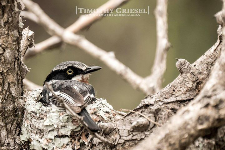 CHINSPOT BATIS: On her nest.  Beautiful little birds with their characteristic 3-note whistle.   . . . . .  #animallovers #animalpolis #animalsofinstagram #igscwildlife #animales #exclusive_animals #wildlifephoto #wildlifeaddicts #wildlifephotography #animalworld #awesomeglobe #animalofinstagram #animalsmood #wildlifeonearth #wildlifeplanet #thecritterhaven #animalsaddict #planet_of_animals #wildlife_seekers #animal_in_world  #afrika #igs_africa #afrique #super_africa #ig_africa…