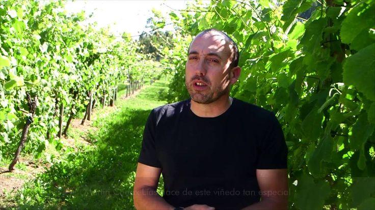 En Pé Redondo, el viñedo experimental de Martín Códax - Todovino