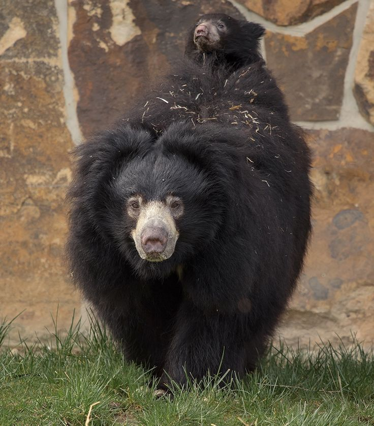 'Niko', the Sloth Bear cub, is now on public display in NaturZoo Rheine's outdoor exhibit, and he is enjoying one of the perks of being a Sloth Bear cub---traveling, in style, on mom 'Devi's' back! Check out ZooBorns to learn more and see more! http://www.zooborns.com/zooborns/2015/04/sloth-bear-cub-hitches-a-ride.html