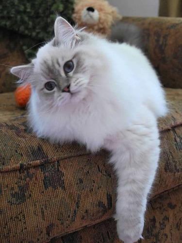 Dapper Christmas cat Ragdoll cat, Cats, Ragdoll kitten
