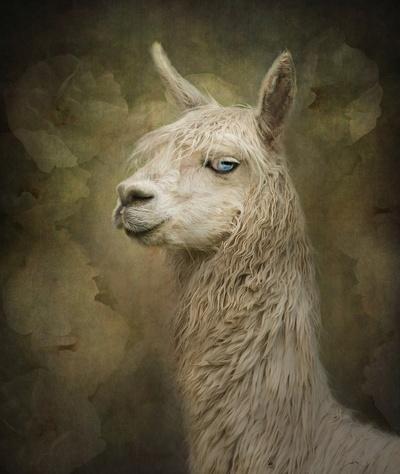 Portrait of a blue eyed Alpaca