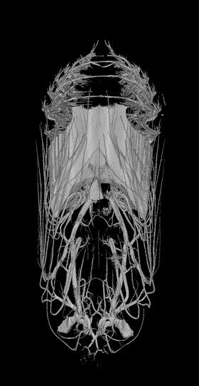 CT scan of a day-old monarch butterfly chrysalis, and side view of a 9-day old monarch butterfly chrysalis, shortly before the butterfly emerges (Micro Photonics Inc)