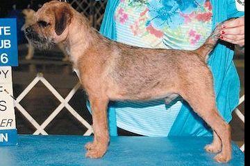 Lndi's Border Terriers Has Border Terrier Puppies For Sale In San Jacinto, CA On AKC PuppyFinder
