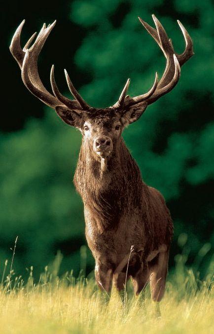 #deer #buck