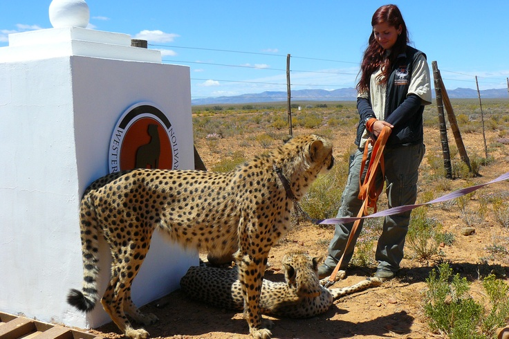 Inverdoorn  Cheeter South Africa