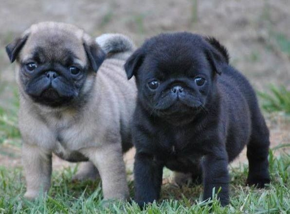 Cute Black and Fawn Pug Puppies