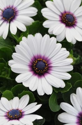 White Cape Daisy with Purple Center 50 Flower Garden by CheapSeeds, $3.99