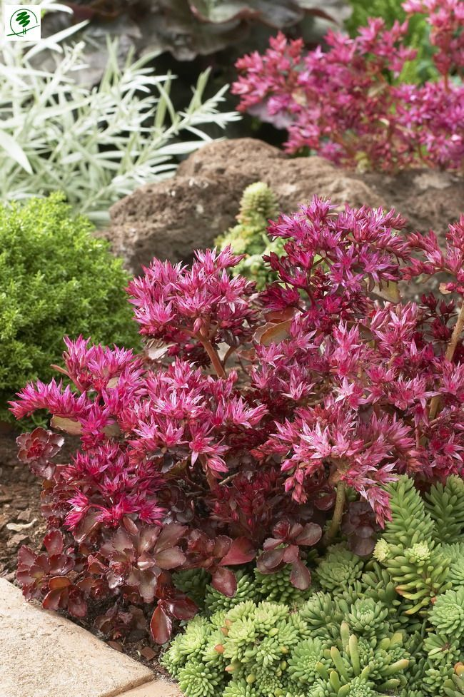Sedum spurium 'Voodoo' - Komposition