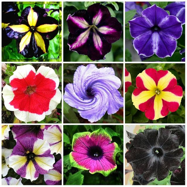 100 Pcs Petunia Flower Plants Rare Beautiful Petunia Garden Flowers Plantas Para Jardin Indoor Bonsai Tree For Ga Petunia Flower Flower Seedlings Petunia Plant