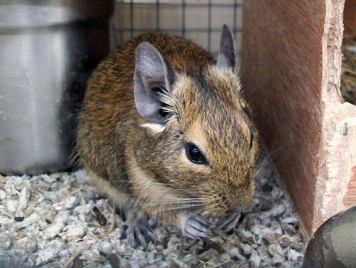 El degú, un roedor con mucho oído