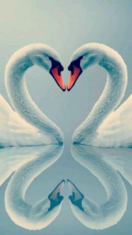 Swan couples mate for life, making the graceful swan a symbol of fidelity. #PANDORAloves this gorgeous picture.