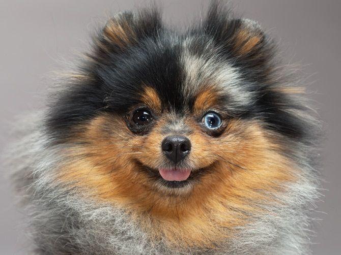 """""""Im crazy and I know it"""" -  Pomeranian"""