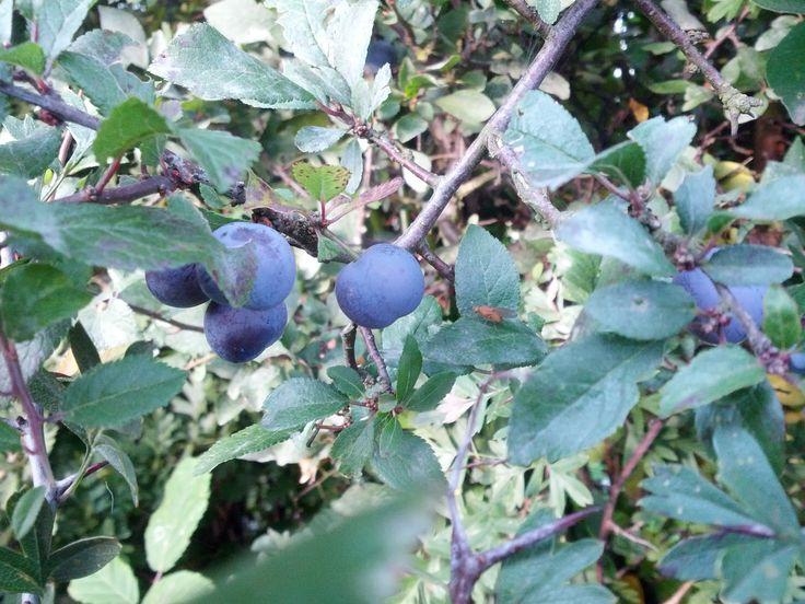 La endrina se utiliza como planta medicinal (digestiva y antioxidante) y alimenticia. De la endrina se obtiene el licor llamado pacharán