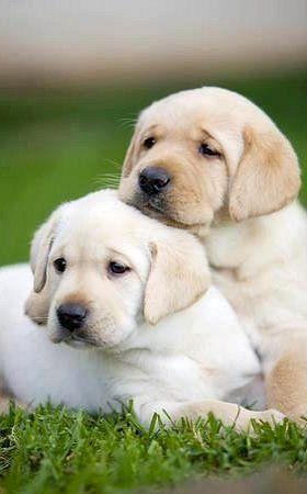 Labrador Retriever Puppies <3 #cute #puppies