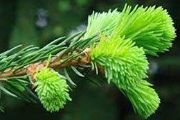 La pousse de sapin, comestible et à découvrir!—Saviez-vous que les jeunes pousses de sapin étaient comestibles? À la découverte de ce produit surprenant!