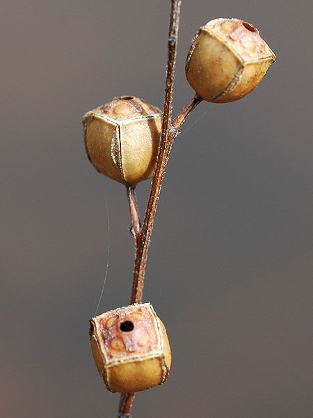 Ludwigia alternifolia, la cápsula geométrica de semillas. | Matemolivares