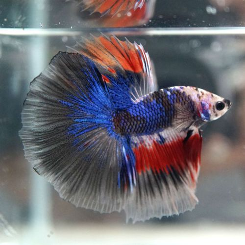 601 best images about betta fish pictures on pinterest for Can betta fish live with other fish