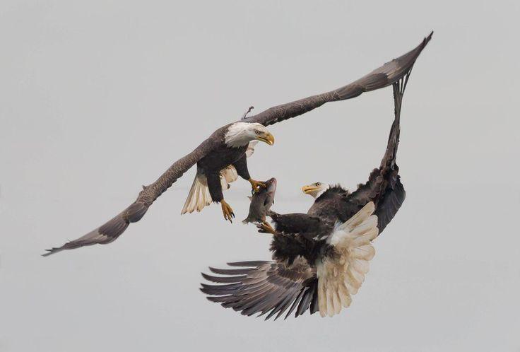 Один белоголовый орлан (лат. Haliaeetus leucocephalus) отнимает у другого пойманную рыбу.
