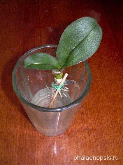 """Что делать, если у орхидеи фаленопсис (phalaenopsis) сгнили корни - """"Phalaenopsis"""""""