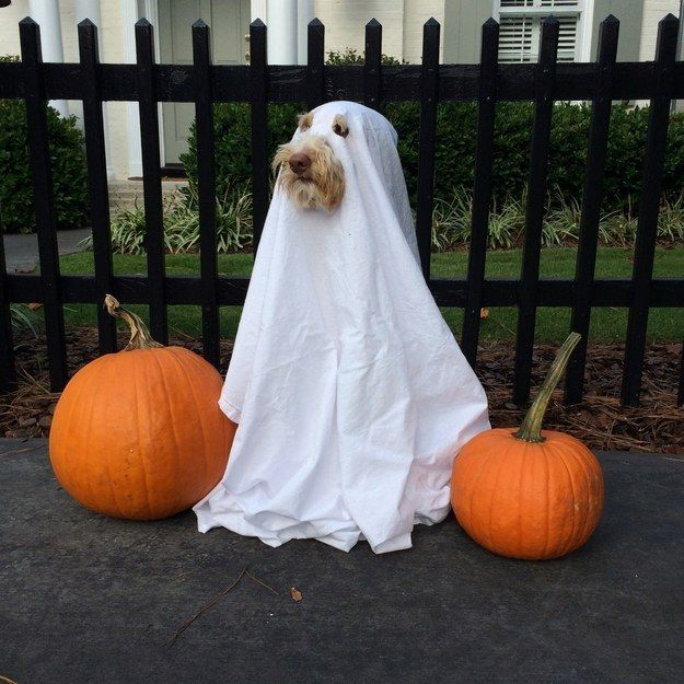 A ghost! | 27 Insanely Clever Halloween Costumes For Your Dog