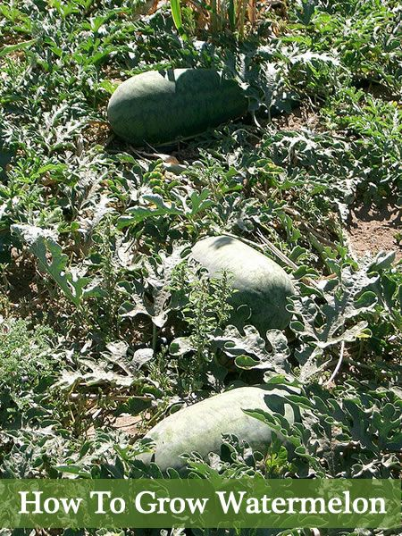 How To Grow Watermelon In Your Garden...