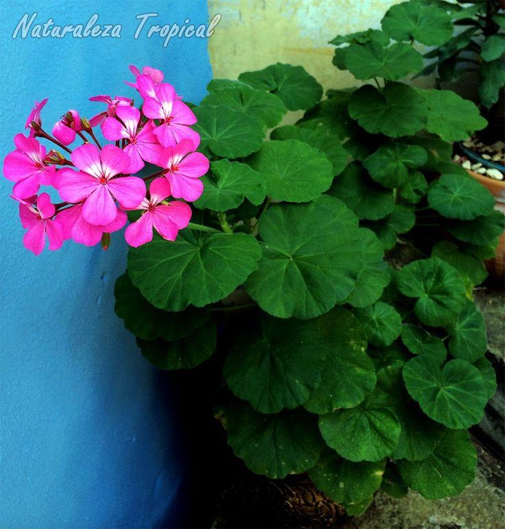 Cultivo de geranio en maceta donde se observa su hermosa floración, Pelargonium…