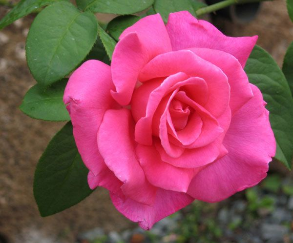 Hybrid Tea roses are ideal for specimen rose gardens and for the grandeur of their individual blooms. Description from arrowheadlandscaping.com. I searched for this on bing.com/images