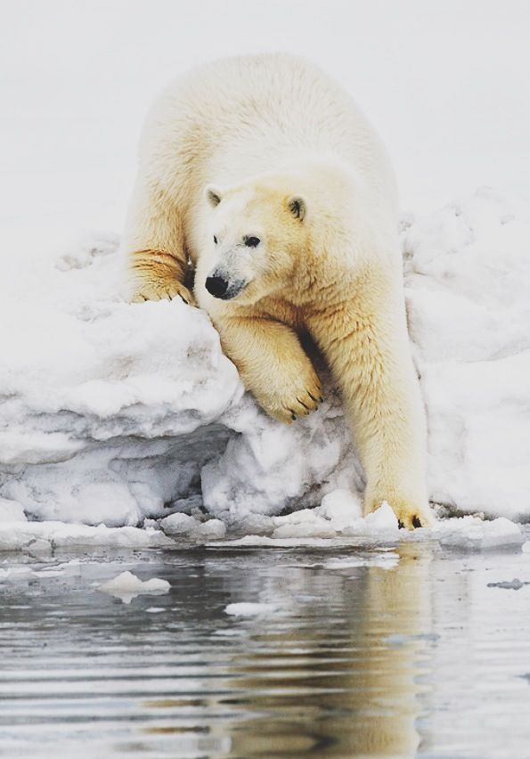 Polar Bear About to Slip Into the Water.