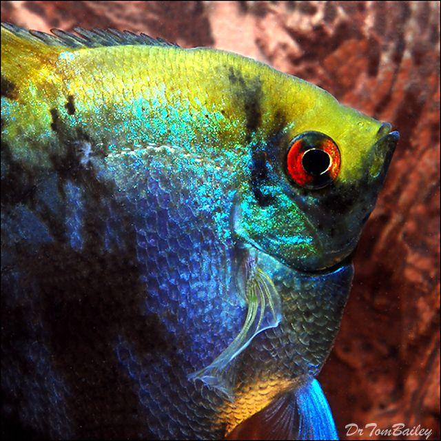Freshwater Angelfish Jpg