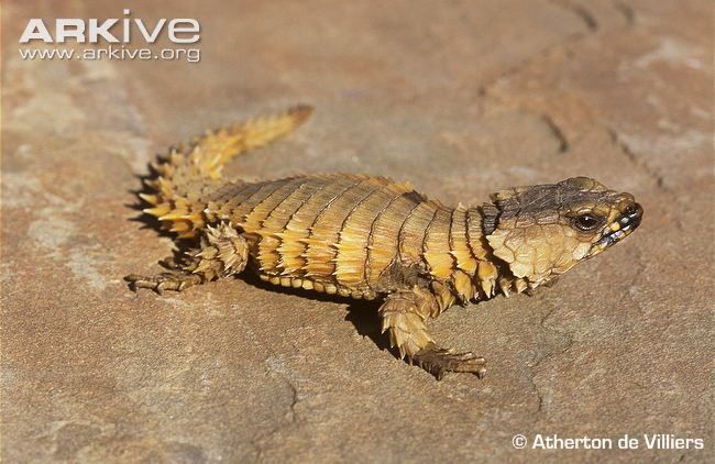 This heavily armoured reptile is named after the armadillo for its ability to roll itself into an almost impregnable ball when threatened. In this position, the spiny scales covering the neck, body...